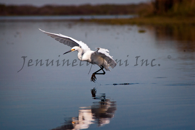 Snowy Egret leaping above water