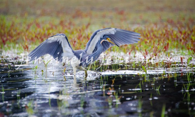 A Tricolored heron canopy feeding with his head tucked under an outstretched wing