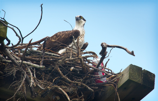 Osprey with a beer can in his nest