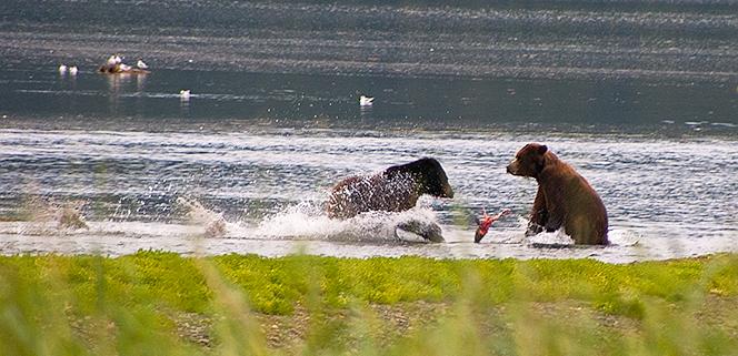 bears fight over salmon