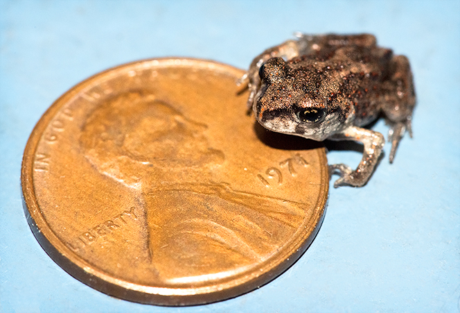 tree frog on a penny