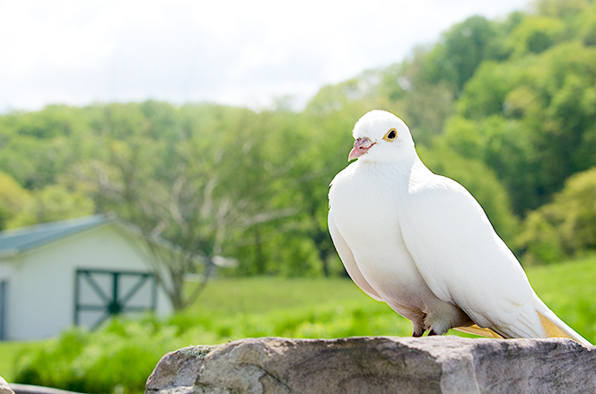 white domestic homing pigeon