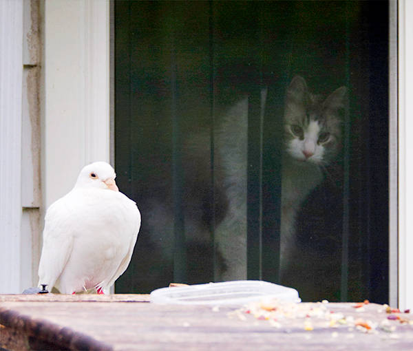 cat watching pigeon from window
