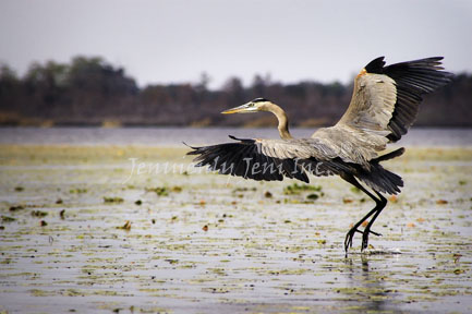 Dancing on Water©, Wildlife Heron Print