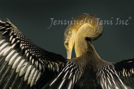 anhinga fine arts bird photograph