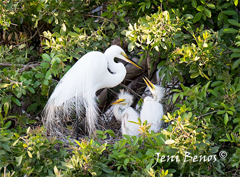 Great white egret mother feeds two chicks in her nest