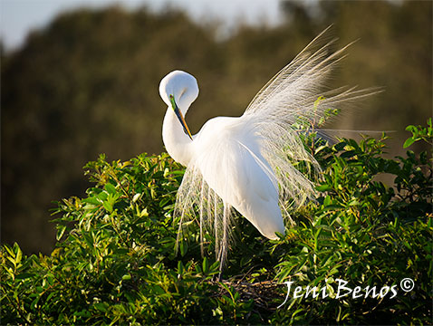 great-white-egret-displays-plumage