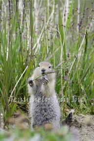 Ground Squirrel © Art Print