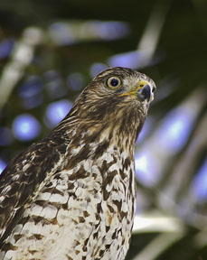 Red Tail Hawk Print ©, Giclee Print on Canvas