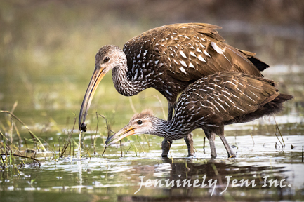 limpkin bird feeds her chick in the swamp