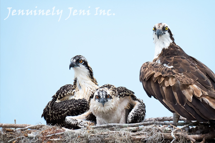 One adult and two osprey chicks in a nest, photo by Jeni Benos