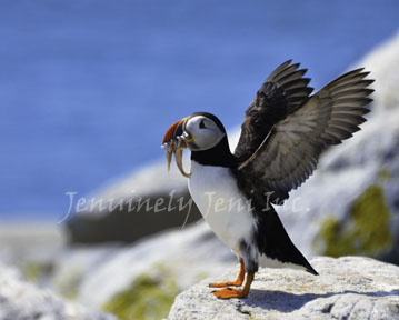 Happy Puffin ©, Fine Arts Photography